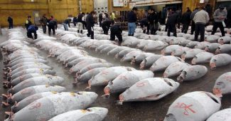 The Tuna Auction
